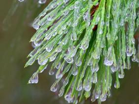 Frozen dewdrops on an evergreen.