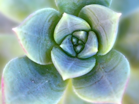 Macrophotography of a succulent.