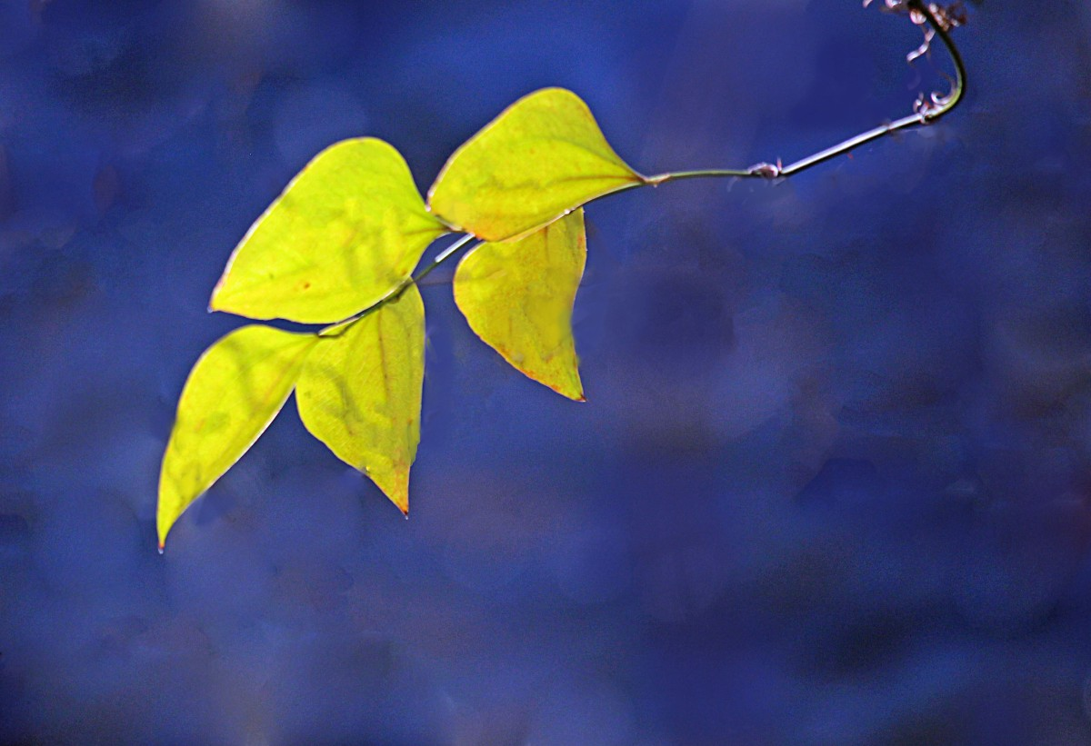 Yellow-green leaves