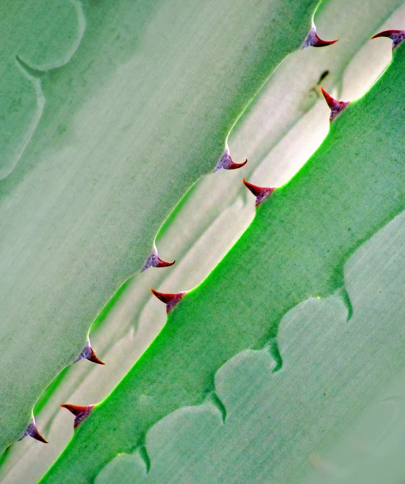 Macro Photography of succulent thorns