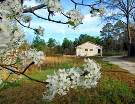 Old house through cherry tree blossoms.