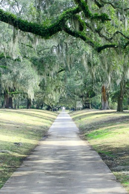 A walkway under spanish moss covered oak trees.