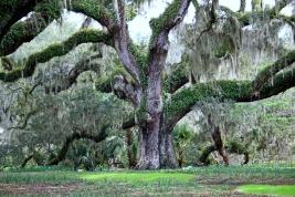 Old Oak Tree from Greenbrook Gardens, SC