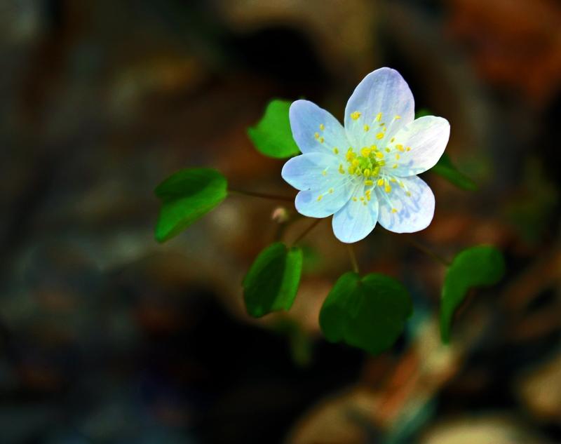 Small white wild flower.