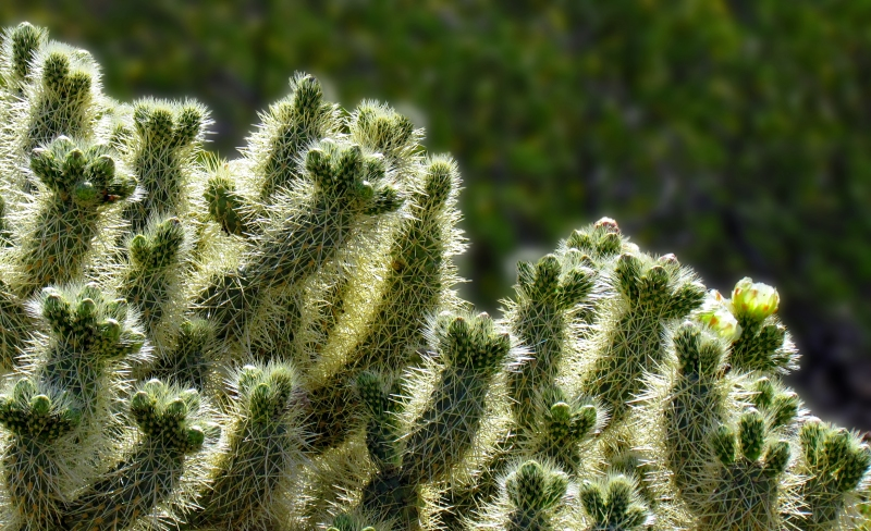 A patch of cactus
