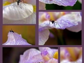An ant on an iris leaf.