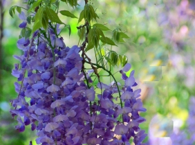 Wisteria from South Carolina