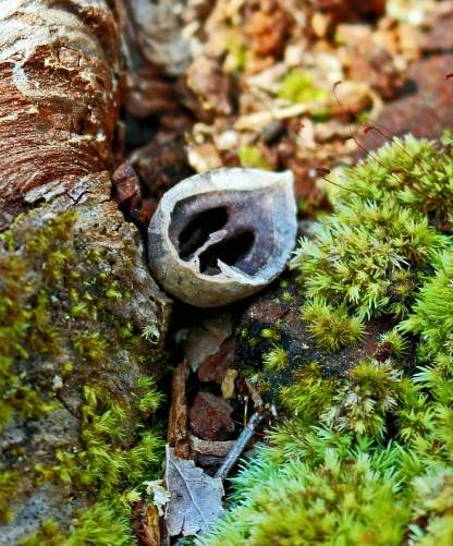 Nature Photography of a cracked open nut and moss.
