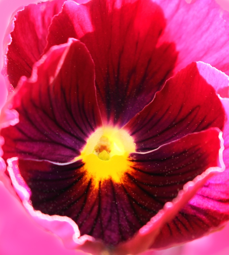 Macro nature photography of a pink pansy