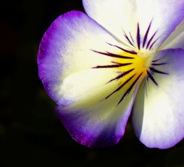 Macro nature photography of a pansy.