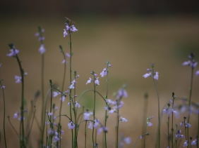 Macro nature photography of tiny purple wild flowers.