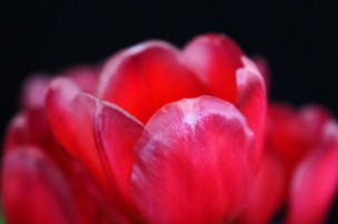 macro nature photography red tulip
