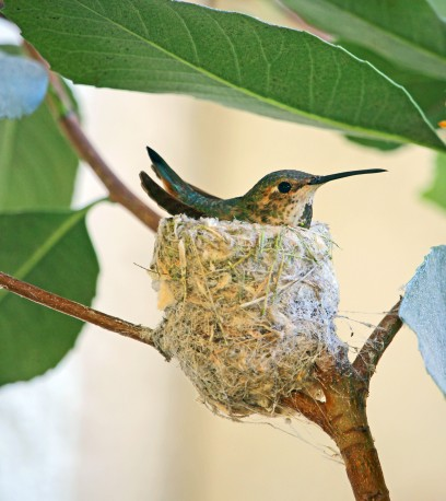 Hummingbird in a nest.