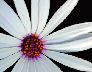 macro nature photography of a daisy