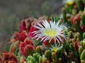 A Flowering Succulent