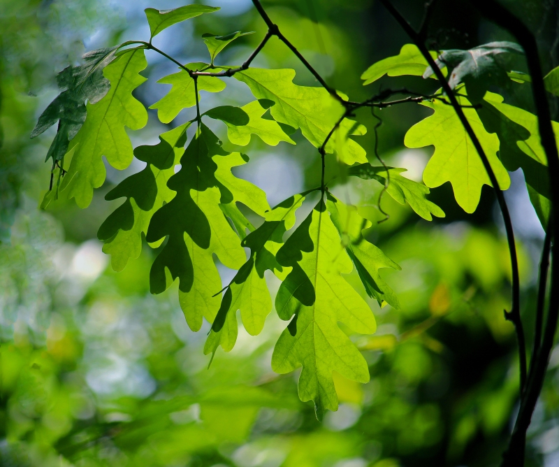 Nature photography of green oak leaves.