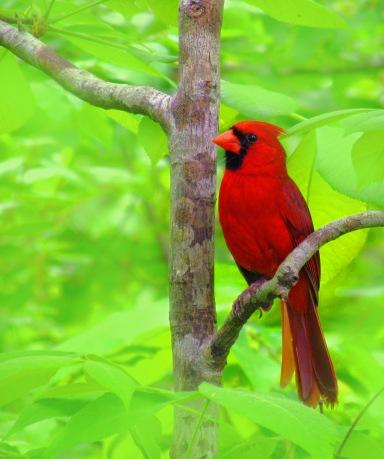 Red Cardinal bird from South Carolina