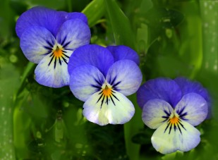 Three identical pansies.
