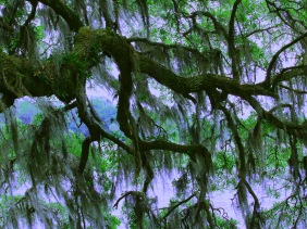 Nature photography of oak tree branches from Brookgreen Gardens, SC.