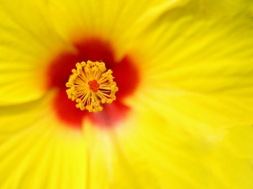 macro nature photography yellow hibiscus flower