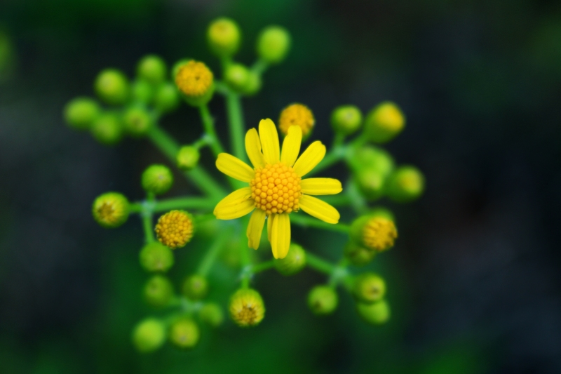 Macro nature floral phtography of tiny yellow flower