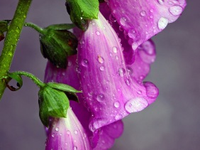 Macro nature photography of raindrops of Foxglove flowers.