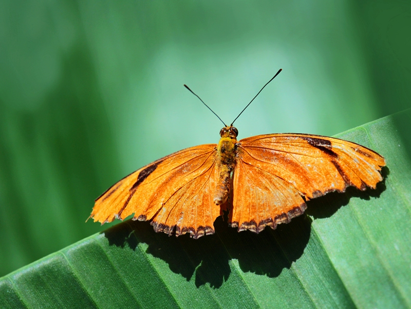 nature photography of an orange butterfly perched on a green leaf.