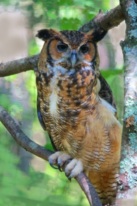 Nature photography of a Great Horned Owl.