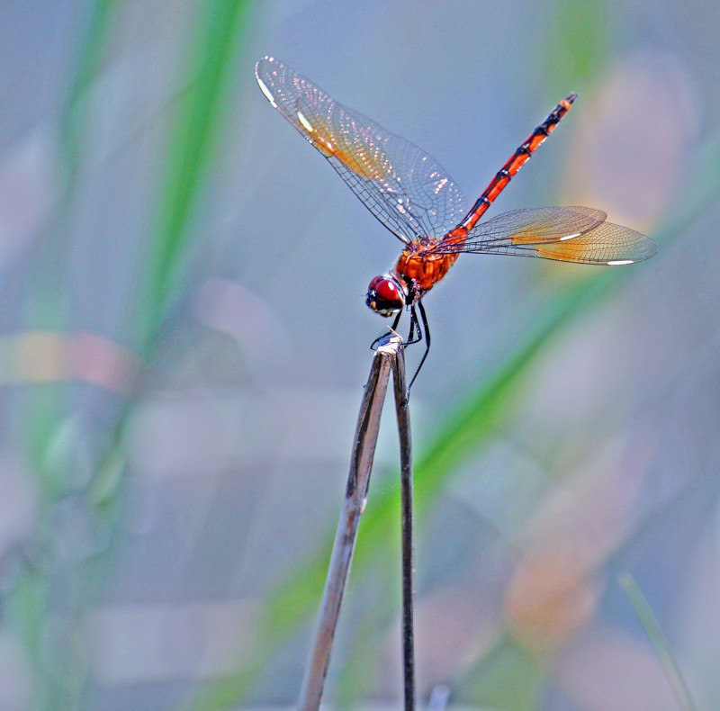 Macro nature photography of a dragonfly.