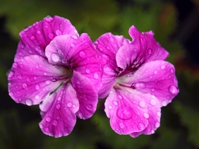 Floral photography of pink flowers with rain drops.