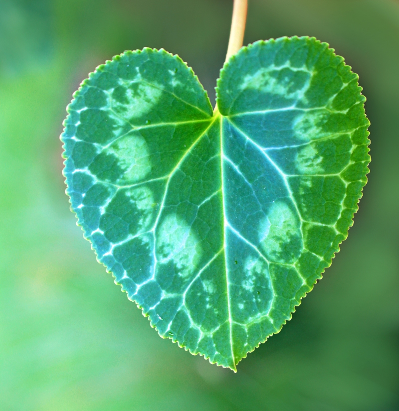 Macro nature photography of a green heart-shaped leaf.