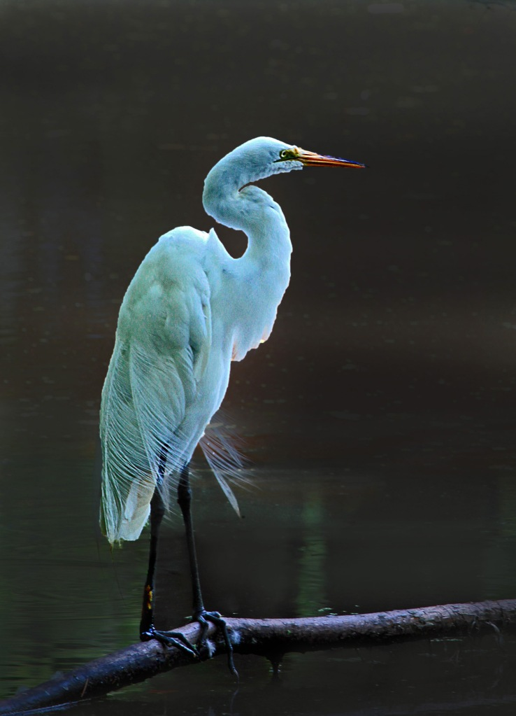 Nature photography of an egret.