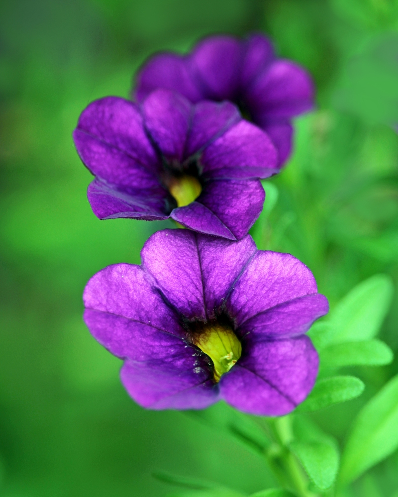 Floral photography of purple petunias.