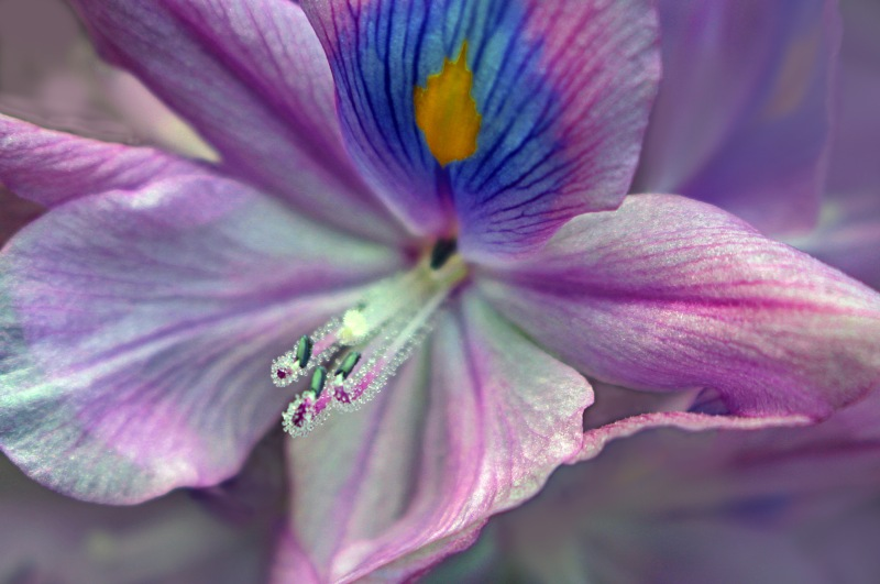 Macro nature floral photography of an iris