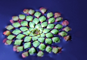 Macro nature photography of mini floating succulents.