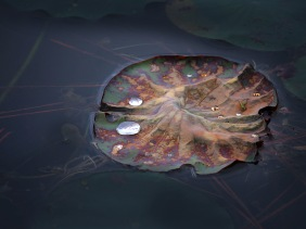Nature photography of dew drops on an old lily pad.