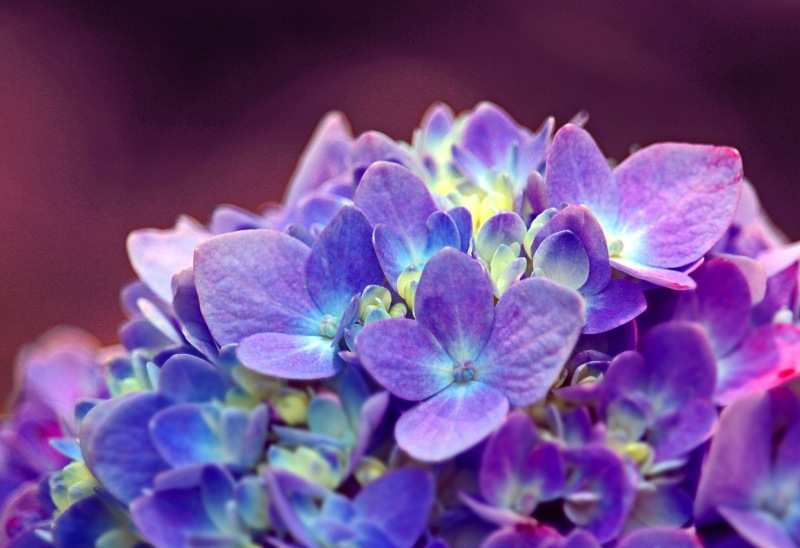 Macro photography of hydrangea flowers.