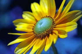 Macro floral photography of a daisy.