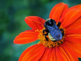 Macro nature photography of a bumble bee.