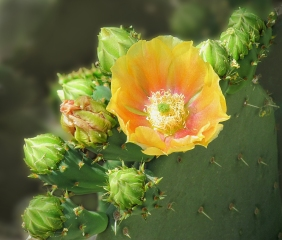Floral photography of a yellow cactus flower.