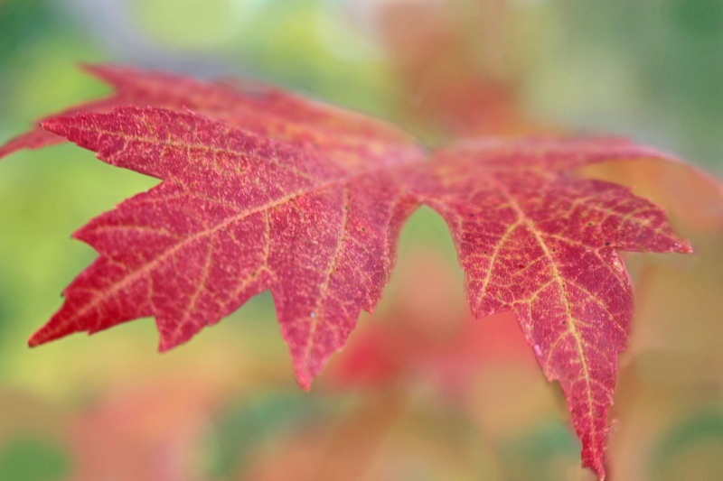 Red fall leaf by Still Unique Photography