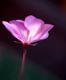Macro nature floral photography of a pink flower.