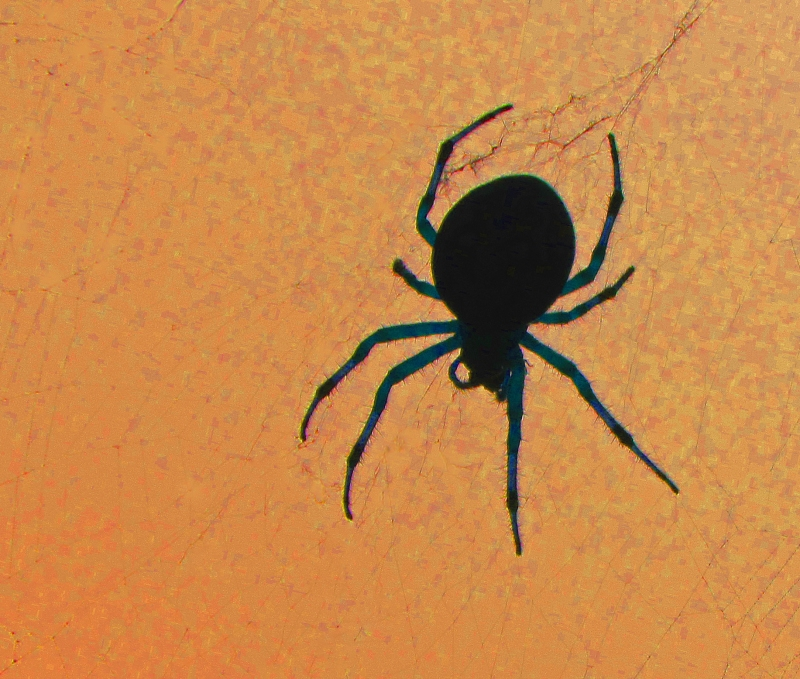 Nature photography of a silhouette of a spider.