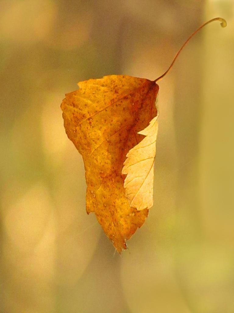 Falling yellow leaf.