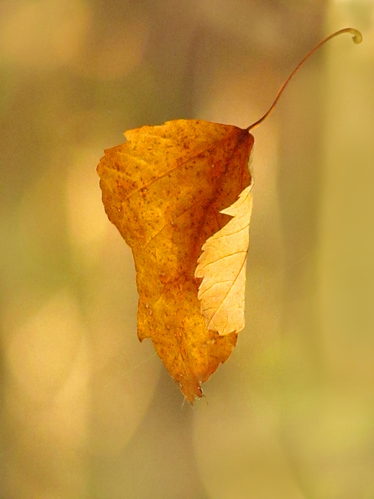 Falling yellow leaf.