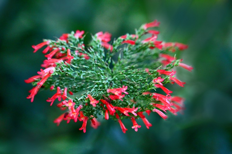 Macro nature photography of flowering evergreen.