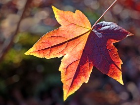 Nature photography of a fall leaf.
