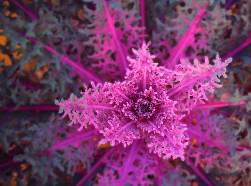 Macro photography of a pink ornamental cabbage.