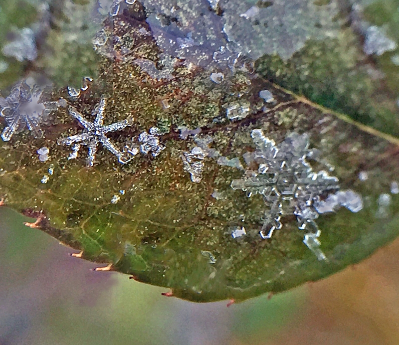 Macro nature photography of snowflakes taken with an iPhone lens attachment.