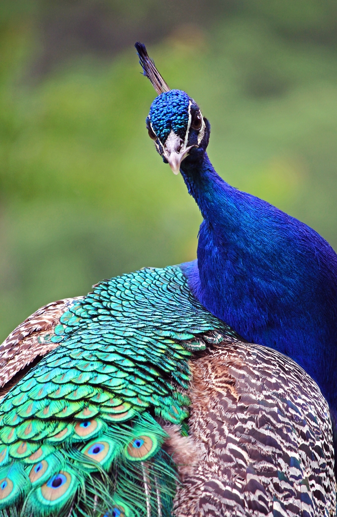 Photography of a peacock.